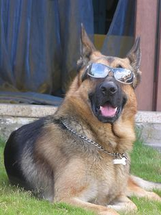 this gsd with sunglasses