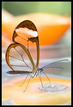 A photograph purportedly showing a translucent butterfly is actually an image that was Photoshopped to use soap bubbles for the creature's wings.
