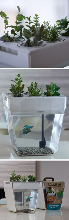 Aqua Farm, self-cleaning fish tank that grows food