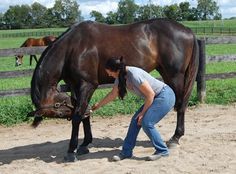 Rehabilitating Horses with Back Problems - TheHorse.com | Learn about methods, from stretches to massage, that can help horses suffering from back issues recover. #horses #stretches #backissues