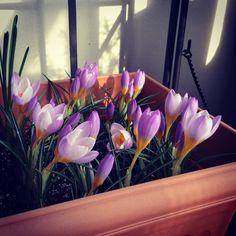 Crocus  in my balcony garden.