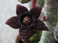 Stapelia similis