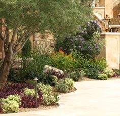 This driveway strip is both lush and water wise with Texas Mountain Laurel providing purple color in the back and Euphorbia lomelii (aka slipper plant) supplying fun green accent shapes in the middle. Check out the beautiful Tuscan styled house and landscape in this video.