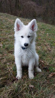 Weißer Schäferhund langhaarHusky Mix (Wandlitz