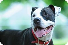 "Media, PA - American Staffordshire Terrier Mix. Meet Dingo - ""All Paws on Deck"", a dog for adoption. http://www.adoptapet.com/pet/10878510-media-pennsylvania-american-staffordshire-terrier-mix"