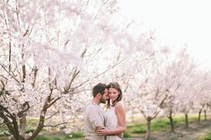 almond orchards in Bakersfield, California in full bloom