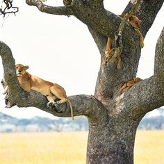 8a31b901d8 Adorned trees.  lazysaturdays  natgeo  serengeti  africa Cat Climbing Tree
