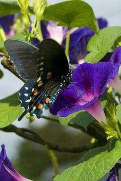 Black Swallowtail enjoying a Morning Glory