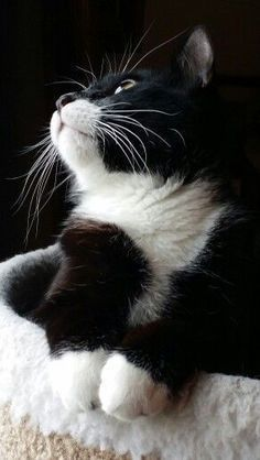 Really nicely marked Tuxedo cat. Really nicely marked Tuxedo cat. Cool Cat Trees, Cool Cats, Cute Cats And Kittens, Kittens Cutest, Ragdoll Kittens, Funny Kittens, Bengal Cats, Tabby Cats, Pretty Cats