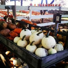 I feel like I need to try those Cotton Candy pumpkins immediately.  #fall #pumpkinpatch #september #travel #illinois #nature #food