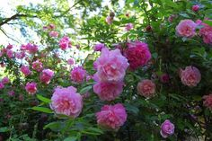 Climbing Old Blush rose, a great form of Old Blush rose, and old China antique rose that has been growing in China and Asia for a thousand years