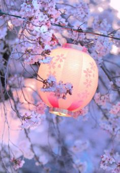 pastel Chinese lantern amongst spring blossoms. The dusk cast a soft lavender light over everything