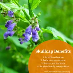 Skullcap herb is an amazing plant for stress, tension, anxiety, nervousness and panic attacks.