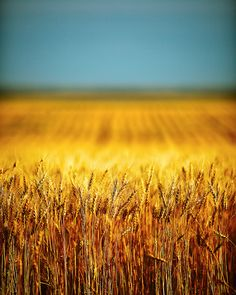 Golden, Ripe Wheat South of Chinook  ~Photo by Todd Klassy, via Flickr