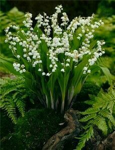 Ground cover for fantastic garden design- Bodendecker für fantastische Gartengestaltung Lily of the valley in the garden as ground cover - Garden Cottage, Garden Club, Garden Shop, Shade Garden, Garden Plants, Potted Plants, Beautiful Gardens, Beautiful Flowers, Beautiful Pictures