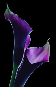 Black calla lilies are a symbol of mystery and elegance. Silky smooth flowers, black calla lilies are known to be anonymous flowers. Also, black calla lilies are associated with decadence and lustiness, due to both their color and shape. Purple Calla Lilies, Purple Lily, Purple Rain, Calla Lily, Shades Of Purple, Deep Purple, Exotic Flowers, My Flower, Purple Flowers