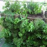 Présentation d'un modèle de mur végétal pour balcon réalisé par le paysagiste Pierre-Alexandre Risser avec des plantes aromatiques. Pour un balcon aux mille parfums.