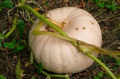 Peanut Pumpkin Info And Care And Learn If Peanut Pumpkin Is Edible - The finding and purchasing of heirloom varieties has become easier, but there is still nothing like growing your own. One such example is growing peanut pumpkins  truly a unique and delicious pumpkin specimen. Click here for more info.