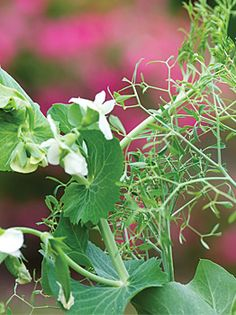 Pea, Masterpiece - Peas at Cooksgarden.com. good for tendril production, peas and pods. 24 days for tendrils