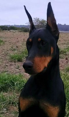 Doberman - ears are too long, need a better crop