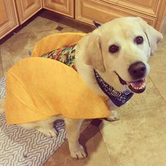 My taco. We'll call you Grande. #bohdi #dogs #halloween #costume #dogcostume #labrador #dogoftheday #labsofinstagram #talesofalab #yellowlaboftheday #tacos