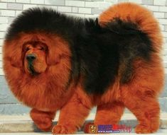 The four breeds most commonly called Mastiffs are the English Mastiff, the Neapolitan Mastiff, the Bull Mastiff and the Tibetan Mastiff. Tibetan Mastiff Dog, Mastiff Dogs, Huge Dogs, Giant Dogs, Beautiful Dogs, Animals Beautiful, Dogue Du Tibet, Animals And Pets, Cute Animals