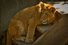 Photograph by Stuart Litoff.  An African Lion cub at the National Zoo in Washington, DC