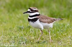 Killdeer - One of the most creative birds, they lay their eggs in a nest on the ground in fields. If the nest is approached by a predator (or human) the mother will draw you away by faking a broken wing and crying out. They are tall with long, skinny little legs.