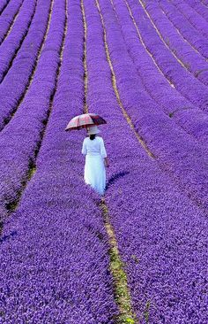 Lavender Walk, Sussex, England (by amberlight1 on Flickr)