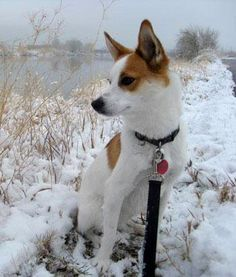 Norrbottenspets Dog Breed Information - American Kennel Club