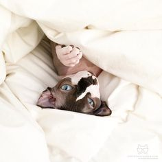 """From @sloane_thesphynx: """"Sleeping in this morning."""" #catsofinstagram"""