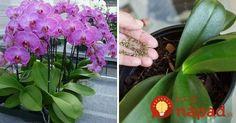 Orchidey právom patria medzi najobľúbenejšie rastliny. Môže za to najmä fakt, že majú rozmanité tvary, farby i veľkosti a dokážu doslova rozžiariť akúkoľvek miestnosť či záhradu. Pôda, v ktorej orchidea rastie, však nemusí vždy rastline vyhovovať a poskytovať jej potrebné živiny. Výsledkom je často sklamanie pestovateľa, ktorého orchidea nevykvitne alebo nevyzerá vôbec zdravo a žiarivo.... Fruit, Plants, Plant, Planets