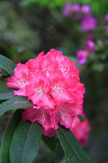 Red Rhododendron. $28 for one gallon. 4 feet wide and tall.