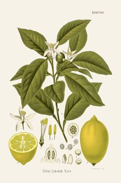 [ Botanical Print: Citrus lemonum, Lemon ] illustrated by Franz Eugen Kohler (c. 1883-1914). For sale (or admiration). ~ on Missouri Botanical Garden Press mbgpress.info