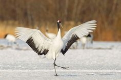cranes Japanese | Red-crowned Crane (Grus japonensis) | Japanese Cranes 2