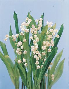 ليليا الوادي لديها العديد من الاسماء منها - ليليا شهر مايو- كونفالاريا - دموع سيدتنا - ليلي المذكر أوراق هذه الزهرة عريضة وتشبه الرمح ، وأزهارها صغيرة وبيضاء تشبه الأجراس وتعتبر هذه الزهرة من النباتات المعمرة في الحدائق ، وهي من الأزهار المفضلة في باقات الأفراح