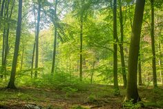Buchenwald im Welterbegebiet Grumsin - Foto: NABU/Klemens Karkow Our Planet, Planets, Country Roads, Berlin, Forests, Scenery, Nature, Plants