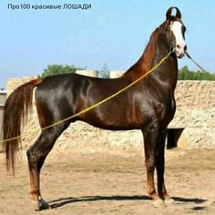 Most Beautiful Horses, Pretty Horses, Different Horse Breeds, Marwari Horses, Around The Worlds, Shades, Cats, People, Animals