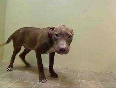 Pibbles & More Animal Rescue, Inc - PMAR FOster needed!! Chocolate rescued from NYCACC, 5 months old needs foster apply at www.pmarinc.org  Allowed handling, very sweet, loves rubs and kisses  Chocolate a0988978 and Tutu A0988977 - reported to be mother & son - are quite bonded. When taken out together they stick closely to one another and when they are separated, both whimper and cry and Chocolate refuses to walk!