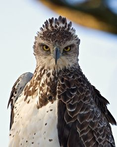 Martial Eagle by Peter Arebalo