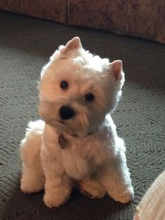 Macy May Westies are the best
