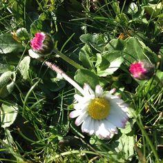 #mindfulness#achtsamkeit#winter#gardening#garten#natur#nature#naturelovers#landliebe#landlust#bauerngarten#gartenglück#gartenliebe#wachstum##growth#flowers#blumen#floral#structure#life#leben#bud#knospe#daisy#gänseblümchen#kreislauf#neuanfang#garden#springfowers#frühlingsblumen