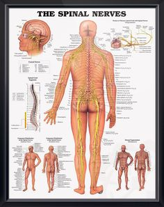 Spinal Nerves anatomy poster shows spinal cord segments, cutaneous distribution of spinal nerves and dermal segmentation. Neurology chart for doctors and nurses.