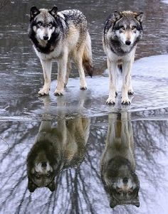 2 wolves and their relections on water