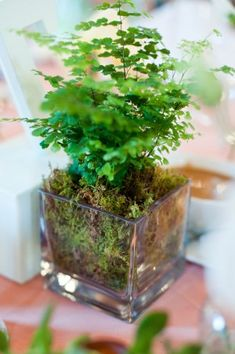 Maidenhair Ferns have graceful foliage. They make cute centerpieces but also add elegance to an end table. Ferns like bright light and to be kept lightly moist. Varieties are native to Oregon.