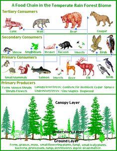 food chain | Food Chain Tropical Rainforest | Chain Conveyor ...