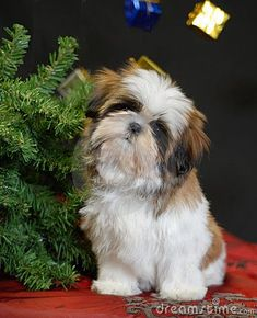 Shih tzu puppy sitting beside christmas tree