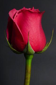 Cherry Oh - 86 Eden Roses Ecuador