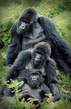 #Gorilla Family