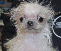 Ducky is an adoptable Maltese searching for a forever family near Brooklyn, NY. Use Petfinder to find adoptable pets in your area.